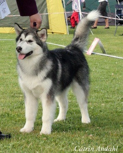 Kaiyuh's first dog show - 4 months old.