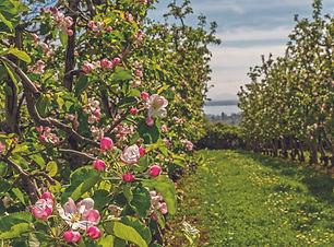 Apfelbluete_Bodensee.jpg