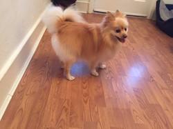 Bailey - Pomeranian