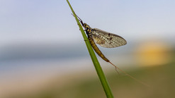 mayfly-4829440_1920.jpg
