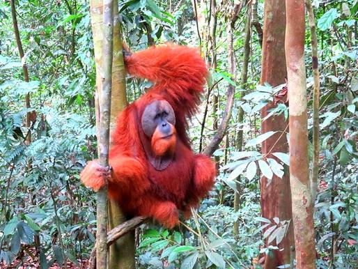 Bukit Lawang: apes en monkeys