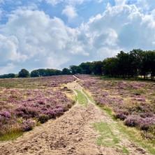 Wandelen Deelerwoud: een paars-gele kleurenpracht
