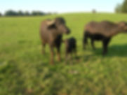 Bufflonne 1sept 2011 031.jpg