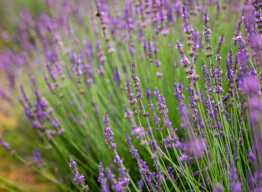Menkveld Farm | A Family-owned Lavender Farm