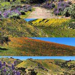 Central Coast Super Bloom Ranches