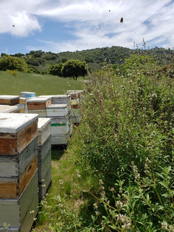 Central Coast Bees in the Sage