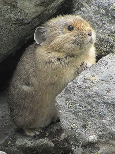 Keep an eye out for the North American pika