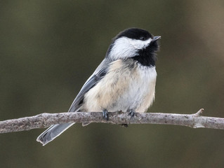 Winter survival for chickadees