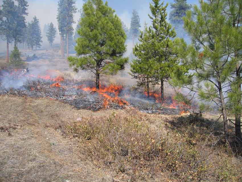 A groundfire beneath young ponderosa pine