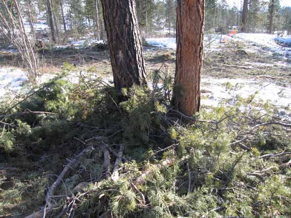 As the skidders pulled bundles of trees across the hillside, thousands of branches broke off against the ground and the standing trees. We will be working throughout the summer to pull the piles of branches away from the leave trees and scatter them on the hillside. This will provide fuel to carry the prescribed fire along the ground but will prevent it from killing too many trees.