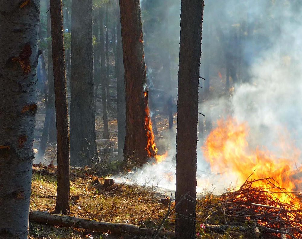 A tongue of flame runs up a western larch along Duck Pond Trail during a fuel treatment burn.