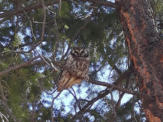 Boreal Owls discovered in Nature Park