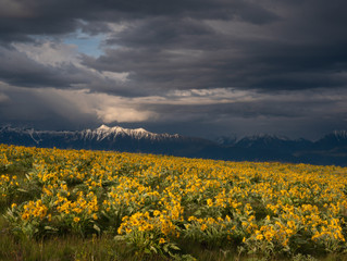 Now is the time to see balsamroot in bloom
