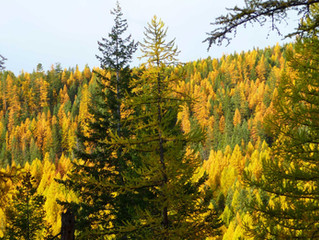 Partners: western larch and mushrooms