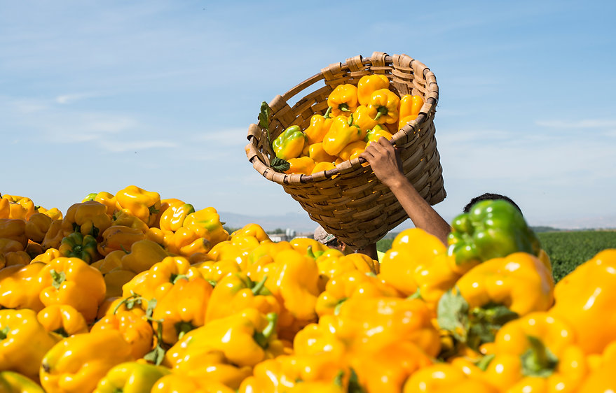 picking-peppers-on-agriculture-field-P2N