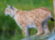 proud-lynx-scout-for-prey-PKNBXRW.jpg