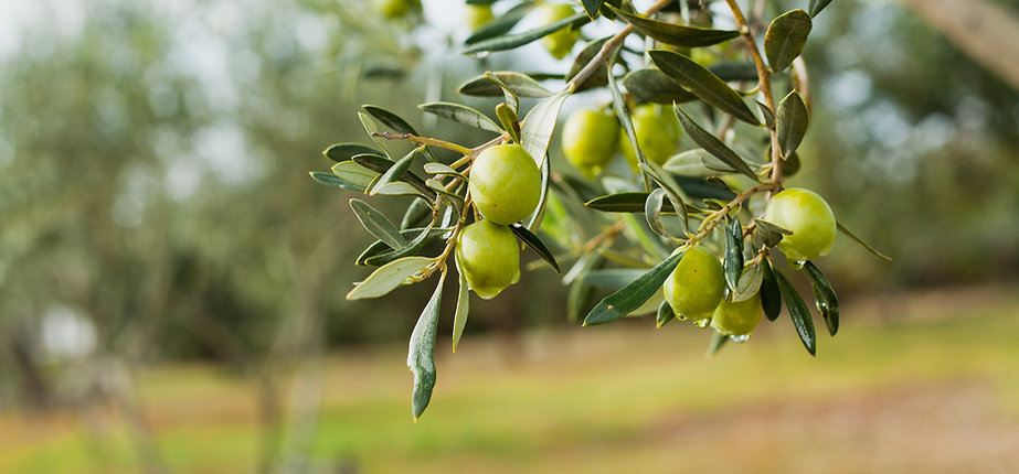 Green Olives Tree.jpg