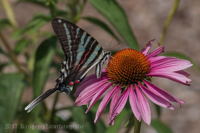 Zebra Swallowtail-8068