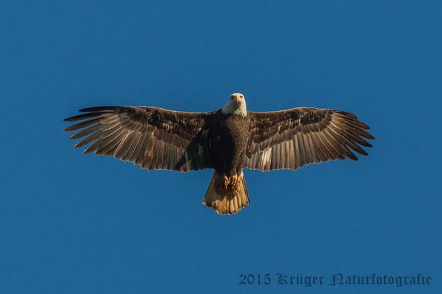 Bald Eagle-1341