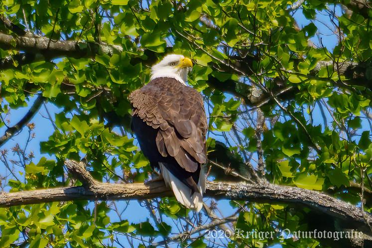 Bald Eagle-1218