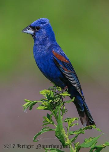 Blue Grosbeak-7819