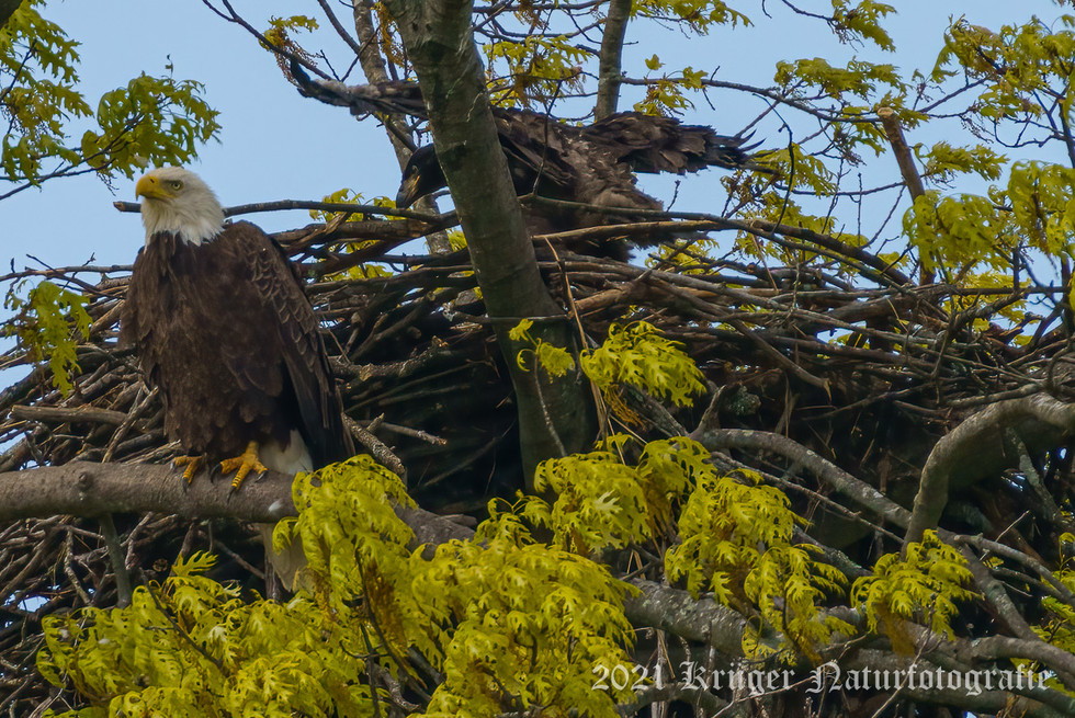 Bald Eagle-04951