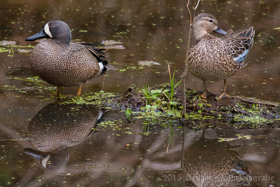 Blue-winged Teal-3501