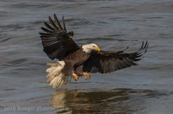 Series 1 - Bald Eagle-0580