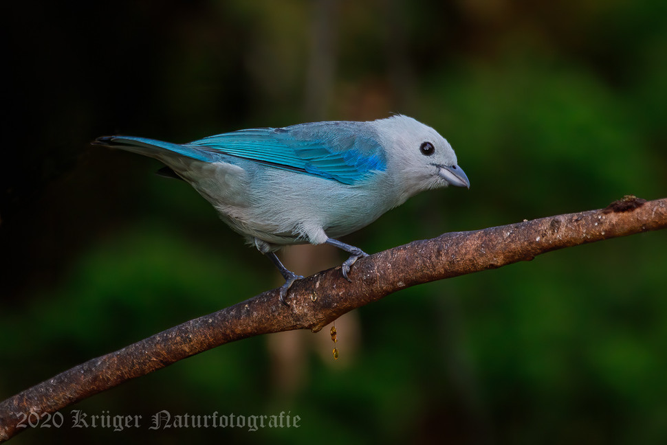 Blue-gray Tanager-2152