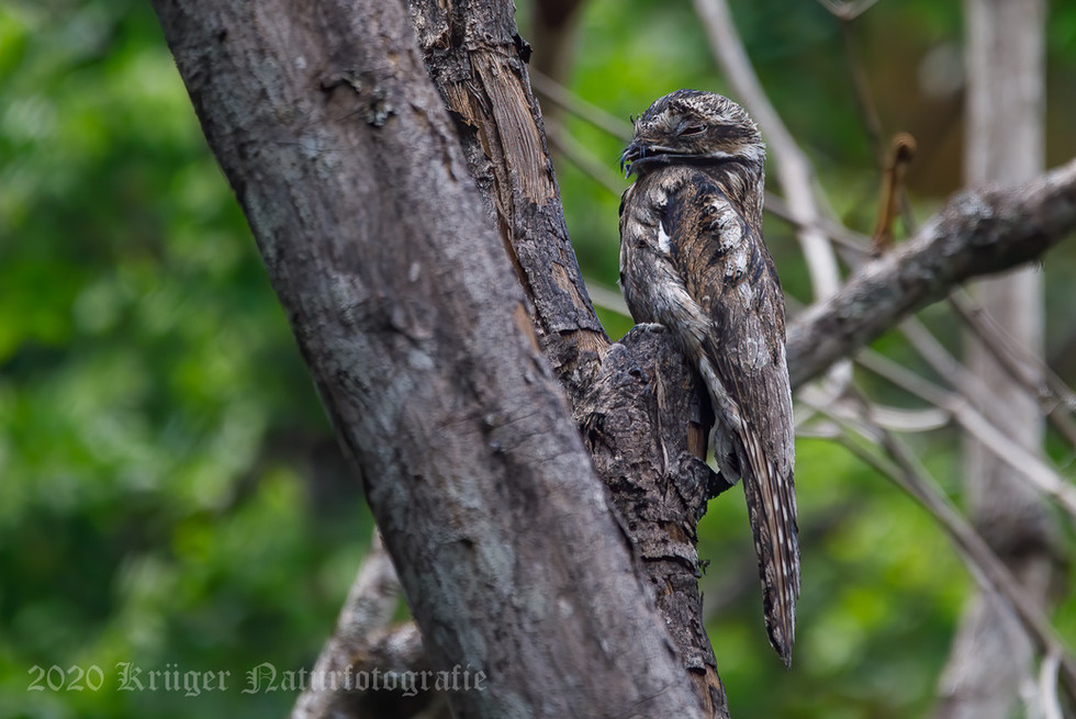 Common Potoo-2043