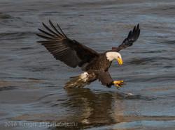 Series 1 - Bald Eagle-0581