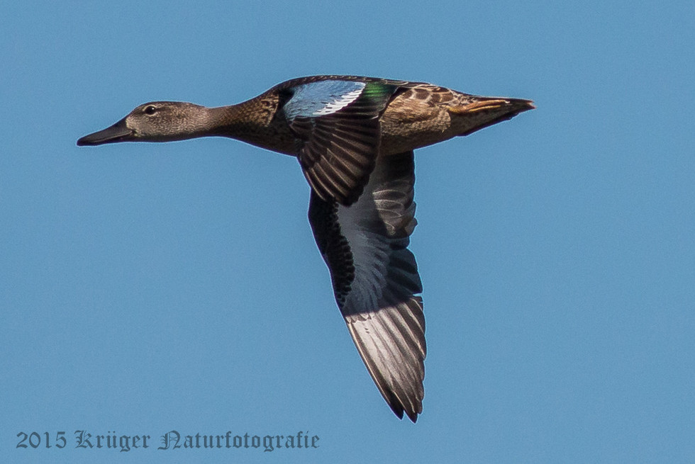Blue-winged Teal-0227