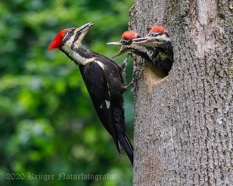 Pileated Woodpecker-3675