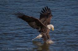 Series 2 - Bald Eagle-4230