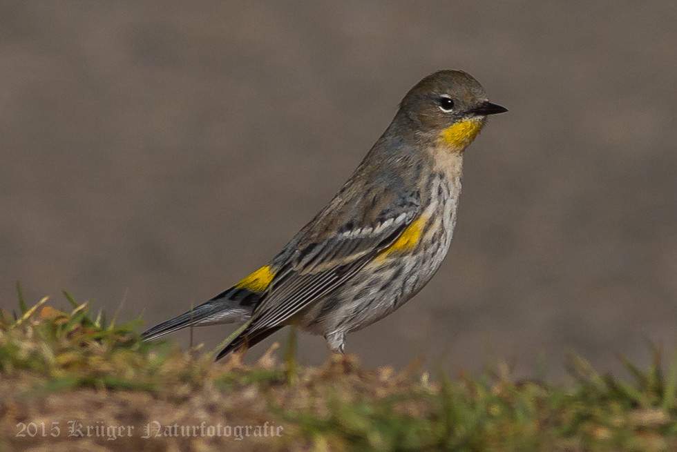 Audobon's Yellow-rumped Warbler-2243