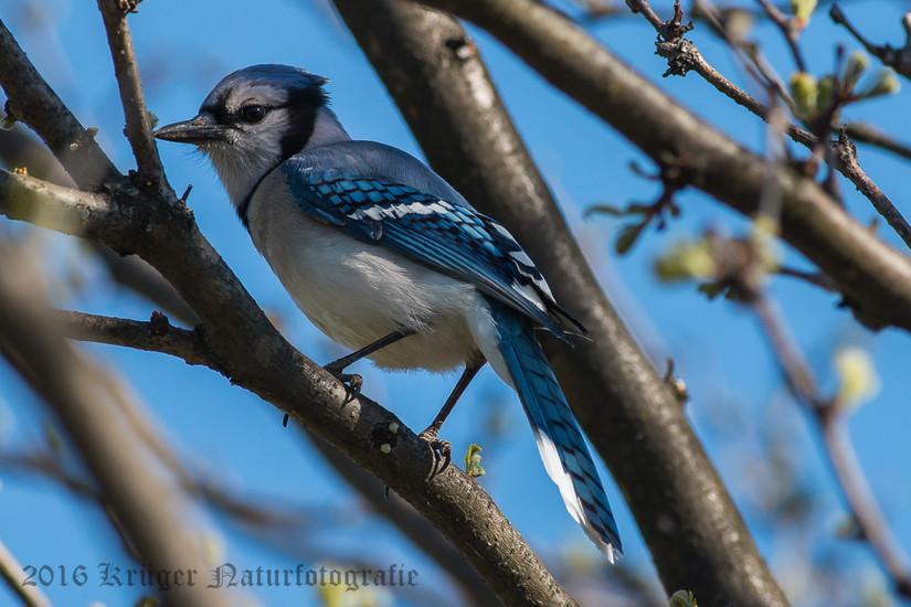 Blue Jay-4672