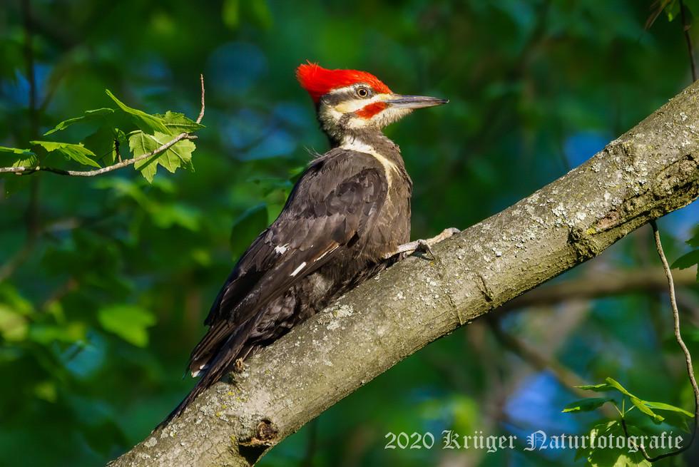 Pileated Woodpecker-2987