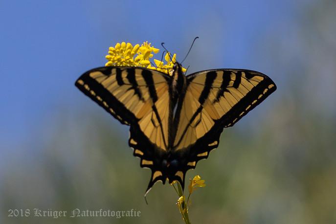 Western Tiger Swallowtail-6738