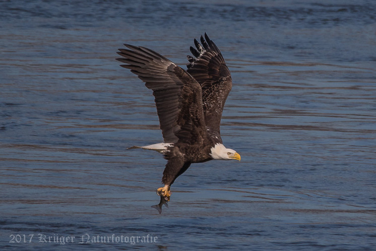 Bald Eagle-4445