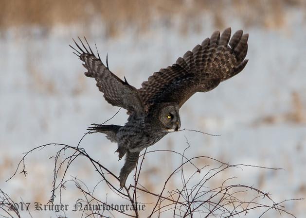 Great Gray Owl-1478