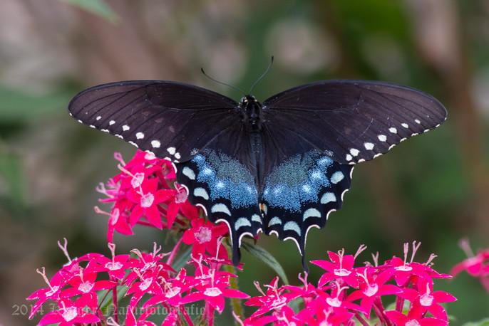 Spicebush Swallowtail-6496