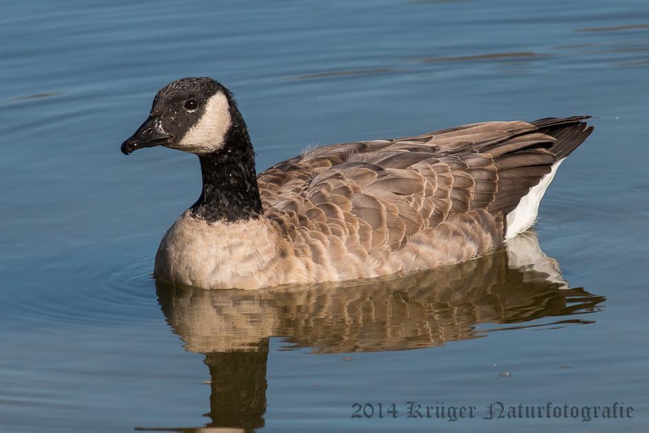 Cackling Goose-9293