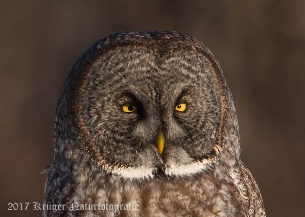 Great Gray Owl-1851