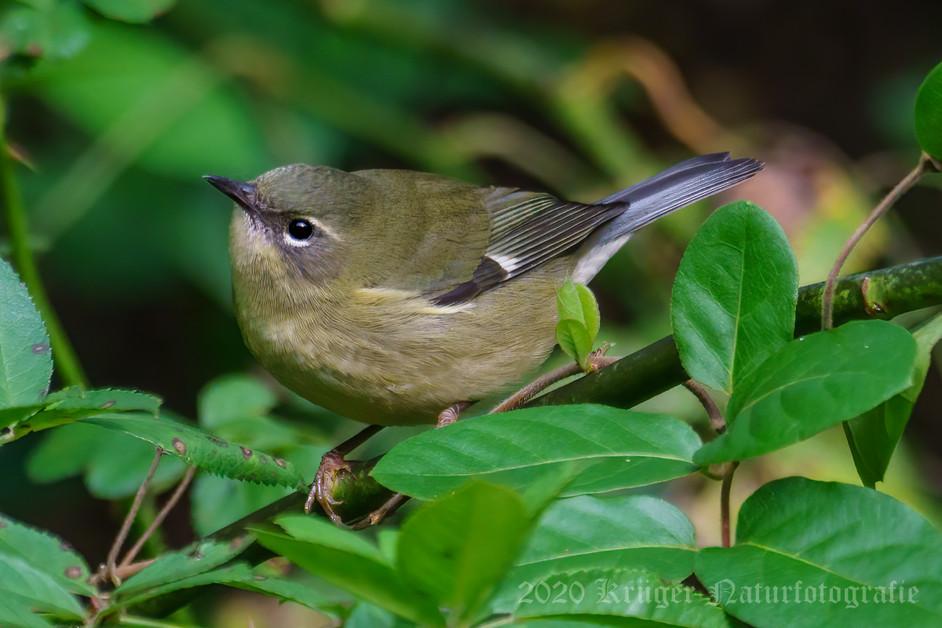 Black-throated Blue Warbler-5301