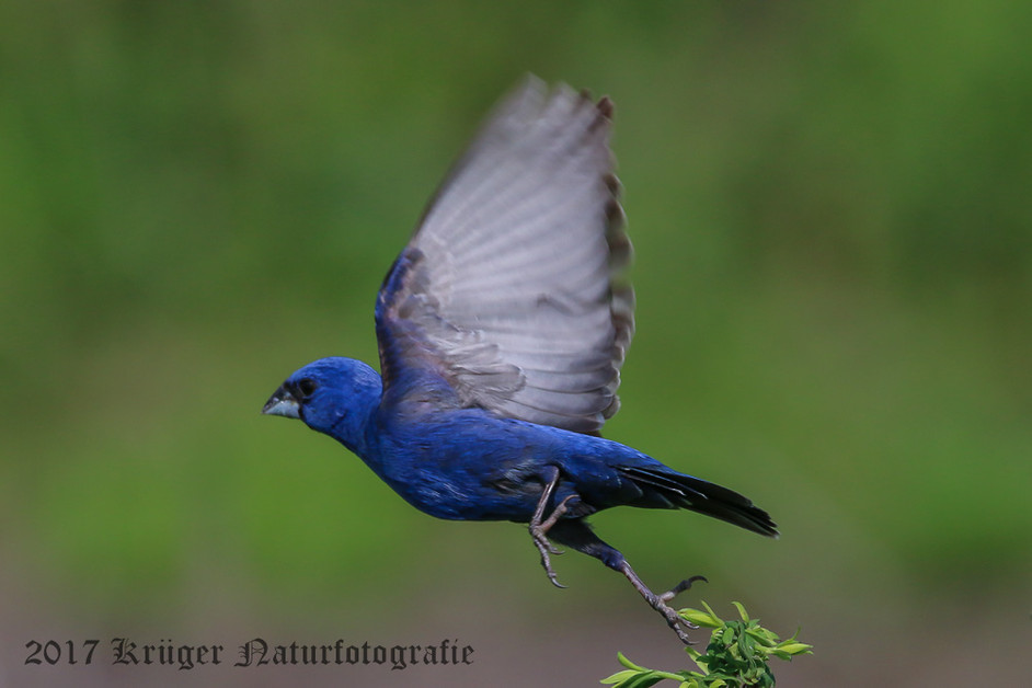 Blue Grosbeak-7821