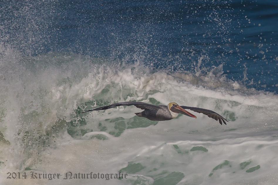 Brown Pelican-8634