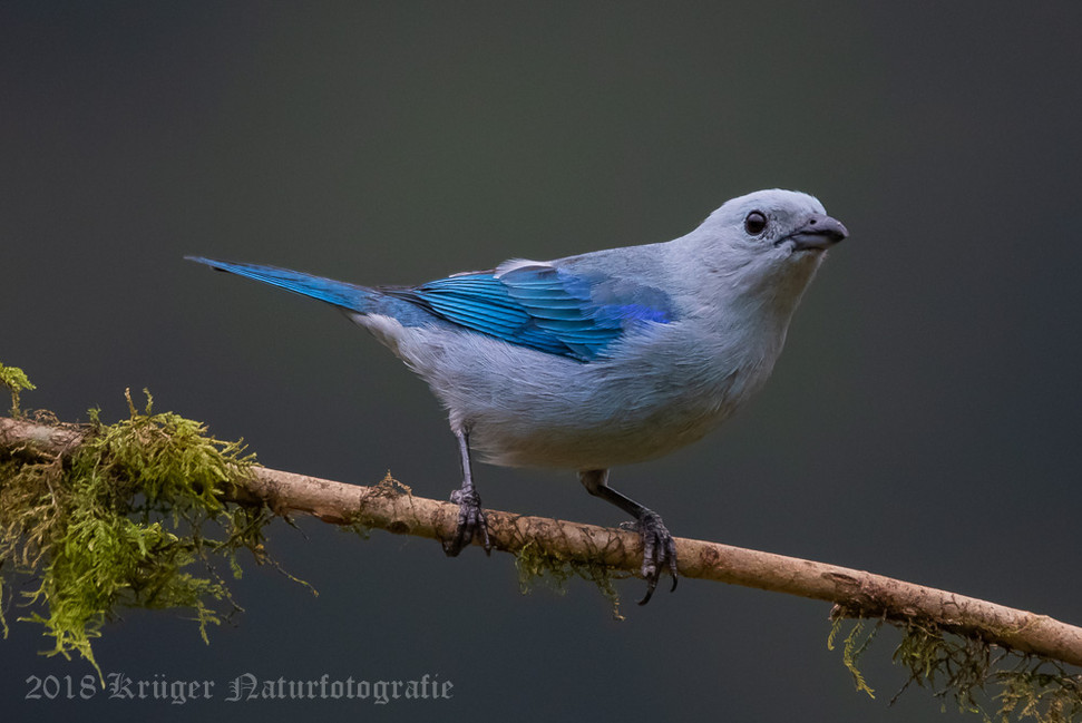 Blue-gray Tanager-5882