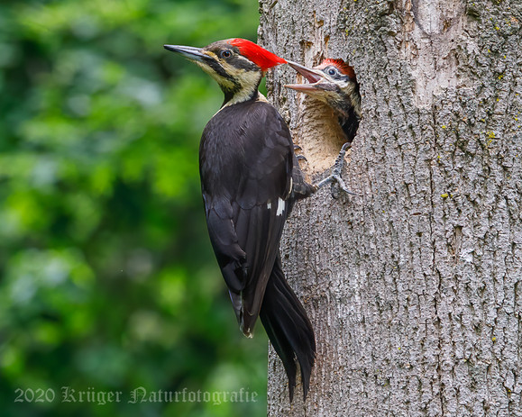 Pileated Woodpecker-3689
