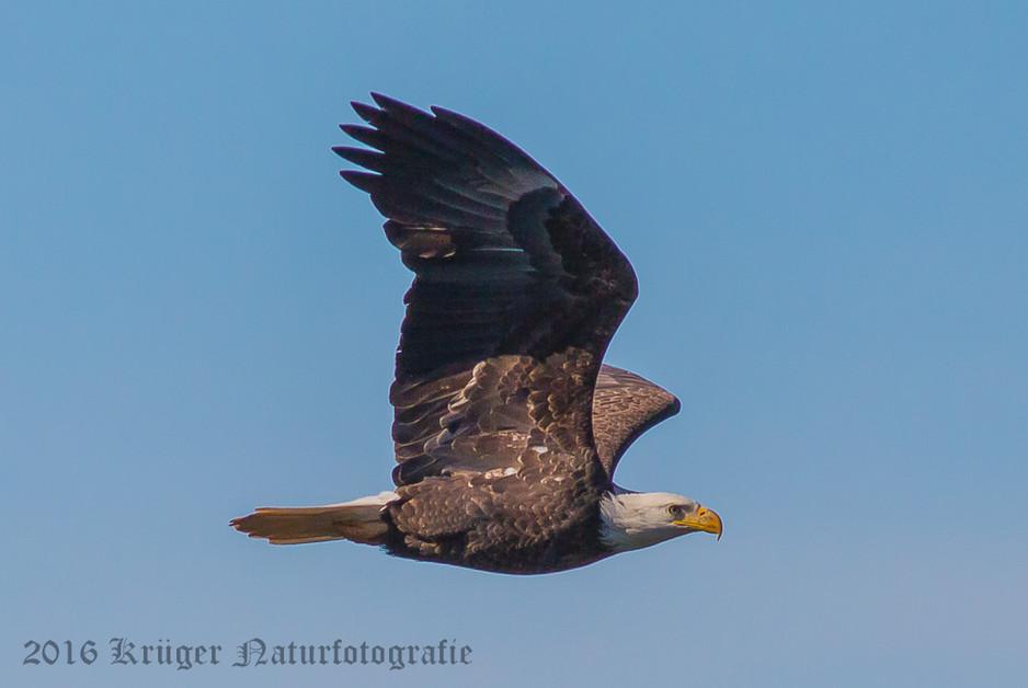 Bald Eagle-2422
