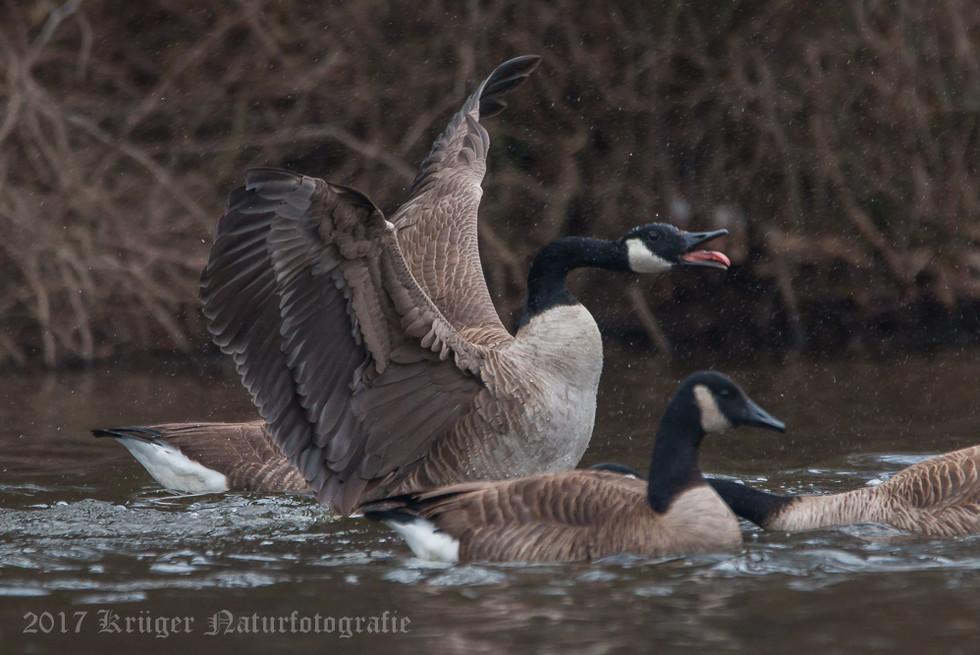 Canada Goose-0215